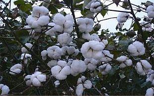 巴基斯坦停止从印度进口棉花等农产品