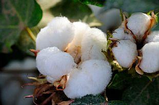 节后棉花价格或将继续大跌?