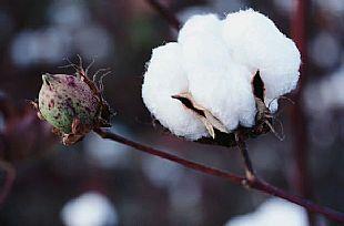 冯梦晓:市场和政策均为后期棉价走势勾画了轮廓