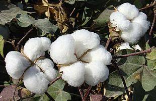 巴基斯坦重新征收棉花关税