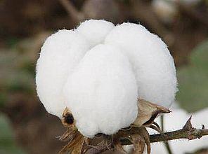 棉花再次暴力涨停!纺织市场到底怎么了?